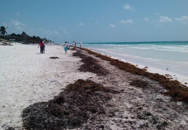 La marea arrastró a la orilla grandes cantidades de sargazo y algunos desechos. (Rossy López/SIPSE)