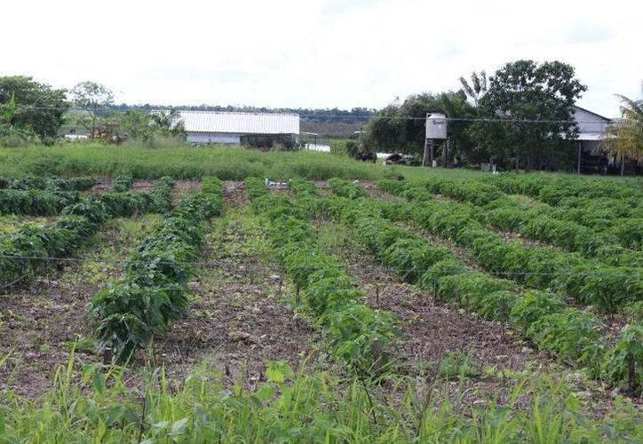 Apicultores se oponen a la siembra de soya transgénica por el riesgo que supone para la producción de miel. (Foto: Contexto/SIPSE)