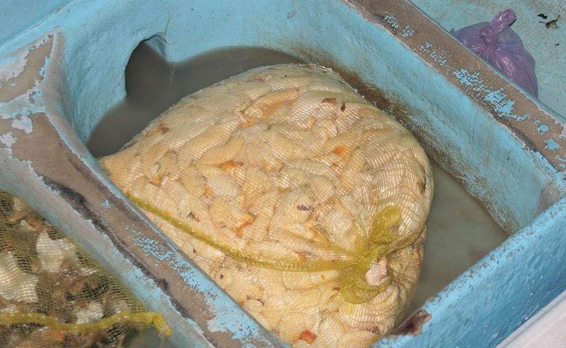 El producto asegurado a pescadores furtivos por elementos de la Marina. (Julián Miranda/SIPSE)
