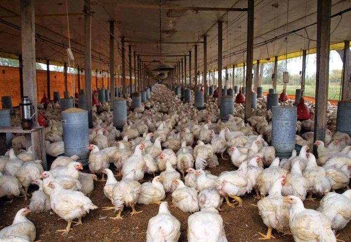En el estado hay 167 granjas tecnificadas y la mayoría maneja un ambiente tecnificado para darles una mejor atención a los animales. (Milenio Novedades)