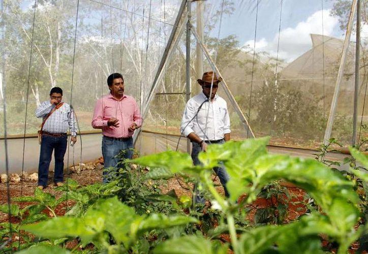 El secretario de Desarrollo Rural, Juan José Canul Pérez, durante el recorrido que ayer efectuó en la Unidad Productiva San Pedro Xocchel. (Milenio Novedades)