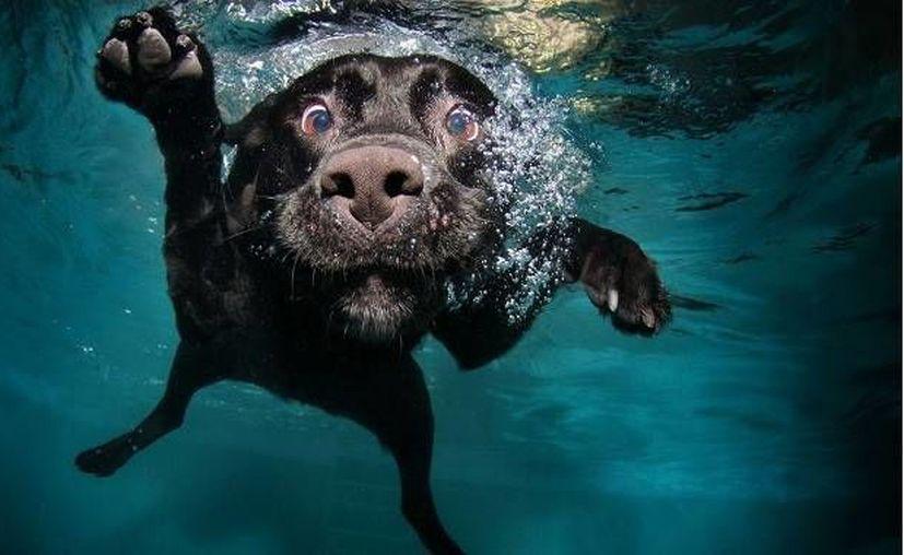 Los perros pueden permanecer bajo el agua con esta tecnología durante media hora. (Contexto/animalmascota.com)