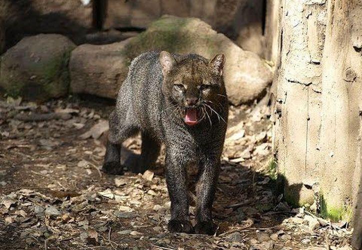 El yaguarundí (Puma yagouaroundi) se encuentra enlistado en la Norma Oficial Mexicana NOM-059-SEMARNAT-2010. (López Dóriga Digital)