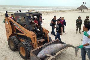 Encuentran un delfín muerto cerca del malecón de Progreso