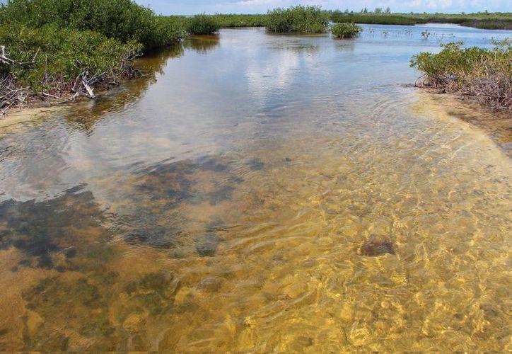 Con el proyecto se busca recuperar el mangle cozumeleño de forma natural:  recuperando flujos de agua obstruidos.  (Gustavo Villegas/SIPSE)