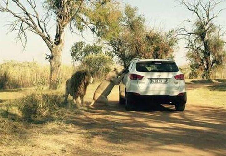 Momento del ataque de un león contra Katherine Chappel, editora de efectos especiales de Game of Thrones, en un parque de Sudáfrica. La imagen fue captada por un turista. (excelsior.com)