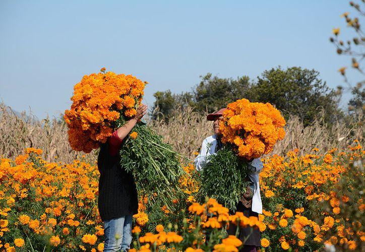 Los campos de Cempasúchil, en Puebla, poseen un color y aroma embriagante que se convierte en un placer para quienes los visitan. (Fotografías de Victoria González/SIPSE)