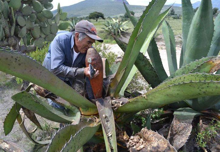 El pulque requiere un proceso artesanal y conocimientos ancestrales, ha permanecido por muchos años en el gusto de los mexicanos y hoy se resiste a morir. (Notimex)