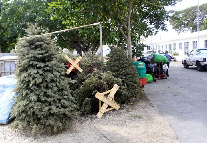 Varios son los pinos que ya 'descansan' en los centros de acopio municipales. (Christian Ayala/SIPSE)