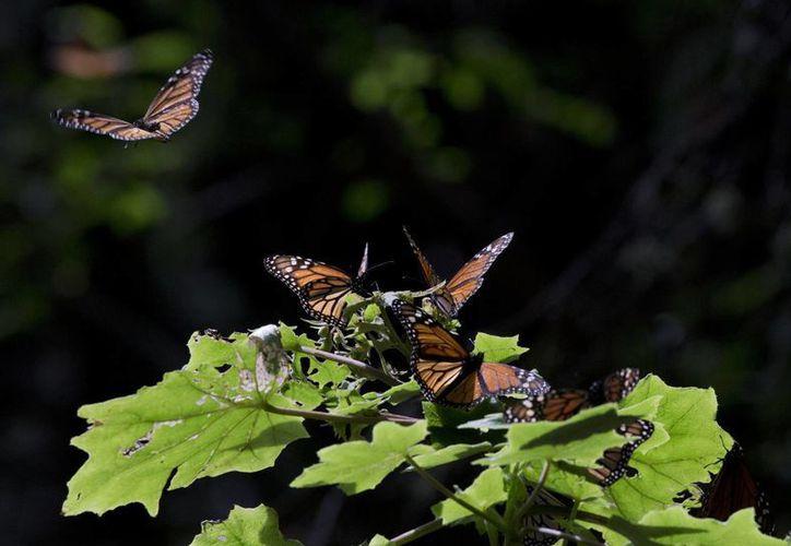 En esta foto del 4 de enero de 2015, mariposas monarca vuelan cerca de una planta en el santuario de Piedra Herrada, cerca de Valle de Bravo, México, Estado de México. (Foto AP/Rebecca Blackwell/Archivo)