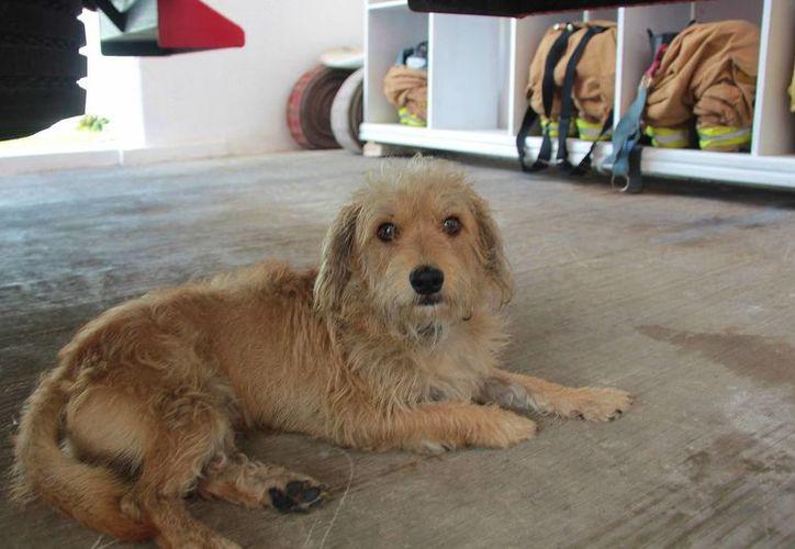 'Chaparro' parece nuevamente tener confianza en los seres humanos, pues es juguetón y muy obediente. (Gustavo Villegas/SIPSE)