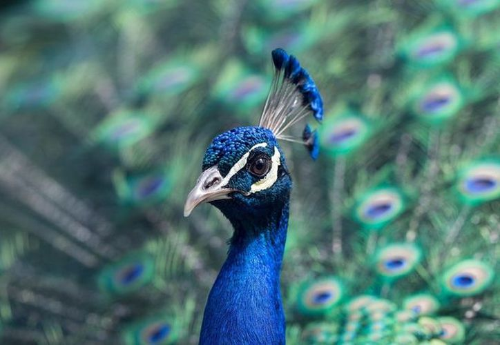 El pavo real no aguantó el maltrato y murió de camino a la comisaría. (RT)