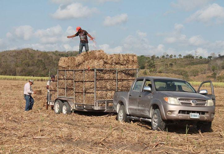 Productores y funcionarios dan salida a las primeras mil pacas rumbo a Miguel Alemán, Río Verde, Caobas y Nicolás Bravo.