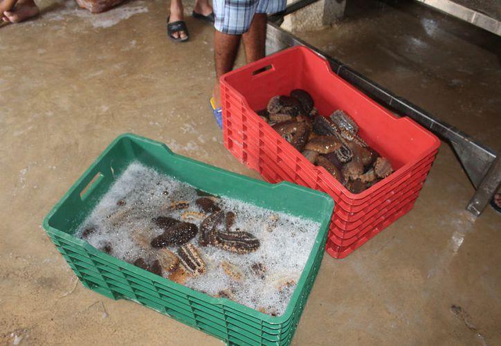 A pesar de que el precio del pepino de mar es 50 por ciento menor comparado con el año pasado, la fiebre no baja y los riesgos tampoco: cinco pescadores han muerto. (Gerardo Keb/SIPSE)