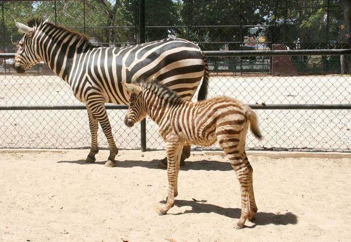 Los zoológicos de Mérida han sido 'prolíficos' en cuanto a la reproducción de especies: casi en el cierre de 2014 han nacido más de 100 crías de diferentes especies. La imagen es de contexto. (Milenio Novedades)