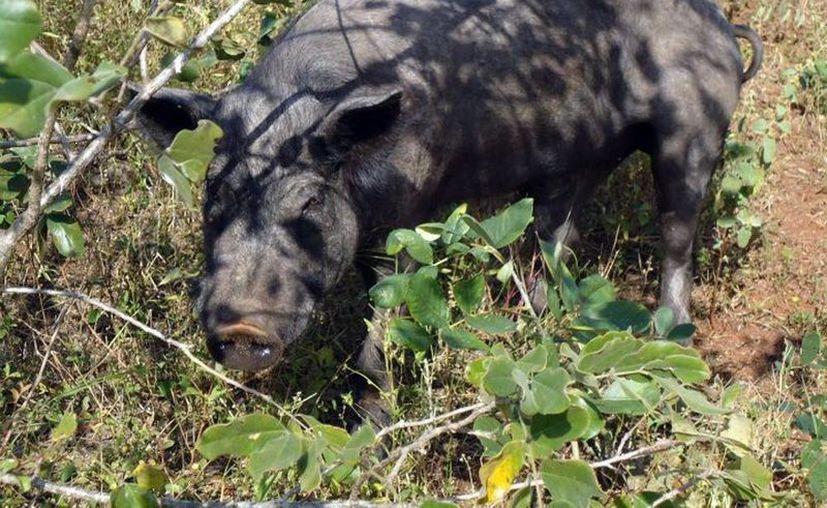 No se puede garantizar la pureza de muchos ejemplares de cerdo pelón. (SIPSE)