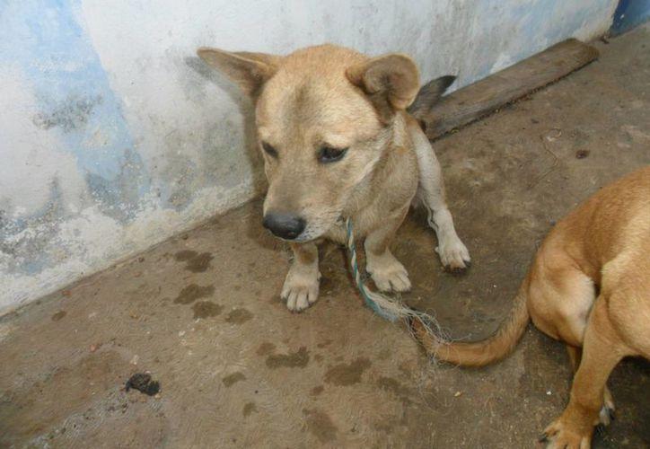 La dueña de los canes interpuso una denuncia en el Ministerio Público por el delito de Maltrato Animal. (Redacción/SIPSE)