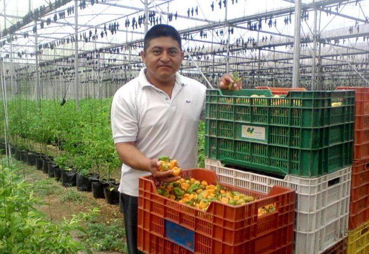 Los campesinos no  recuperarán su inversión en el cultivo. (Carlos Yabur/SIPSE)