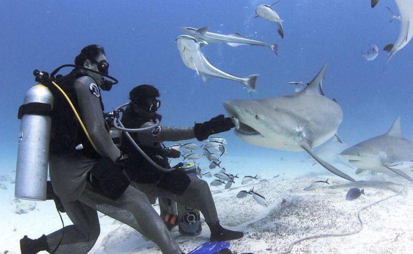 La asociación Saving Our Sharks realizará un documental sobre el tiburón toro en Playa del Carmen. (Cortesía/Phantoms Divers)