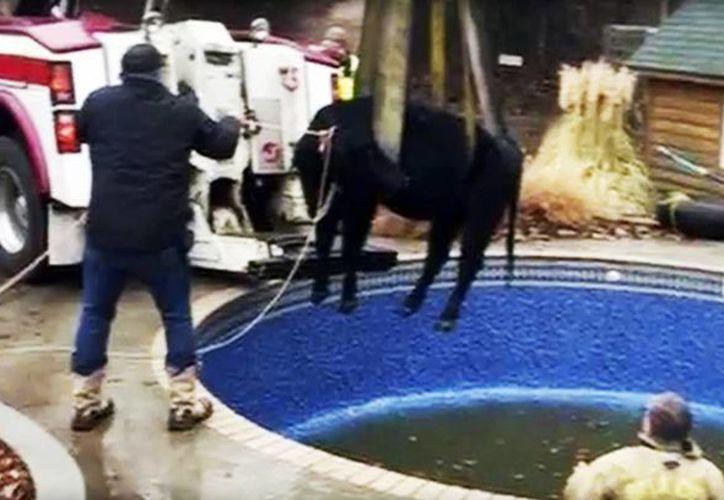 Imagen provista por el Departamento de Bomberos de Oklahoma en donde muestra a los bomberos sacando a una vaca de una piscina, afuera de una casa en Oklahoma City. (Mike Seeley/Departamento de Bomberos de Oklahoma via AP)