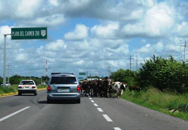 Las vacas cruzan el camino federal varias veces durante el día, denunciaron los automovilistas. (Javier Ortiz7SIPSE)