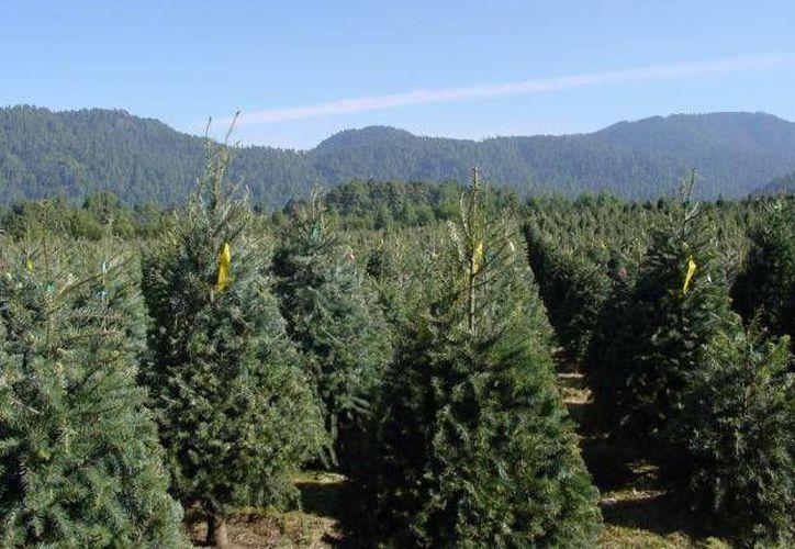 El costo de un pino mexicano varía desde los 100 pesos o hasta los mil.(planetatlalpan.mx)