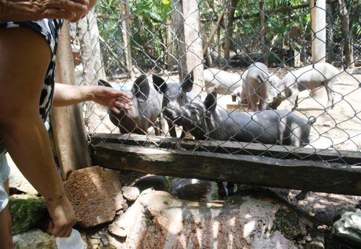 El cerdo pelón será criado en la reserva de la Vereda Xcalacoco. (Octavio Martínez/SIPSE)