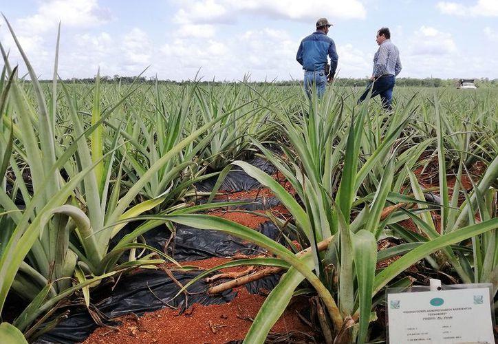 Para los inversionistas, el suelo bacalarense cuenta con todas las composiciones químicas que requiere el cultivo de la fruta. (Javier Ortiz/SIPSE)