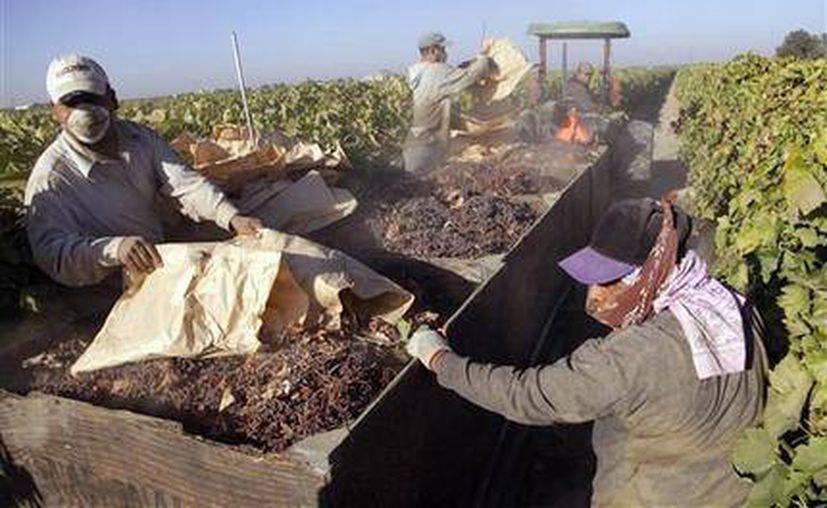 Trabajadores recogen bandejas de papel de uvas pasas y las cargan en una camioneta, en la última fase de la cosecha de uvas pasas. (Agencias)