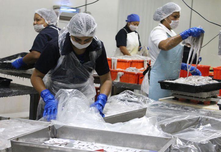 Los productos yucatecos de exportación, entre los que se encuentra el pulpo (foto), podrán llegar a países árabes, si las empresas adquieren la certificación Halal. La imagen está utilizada sólo con fines ilustrativos. (SIPSE/Archivo)