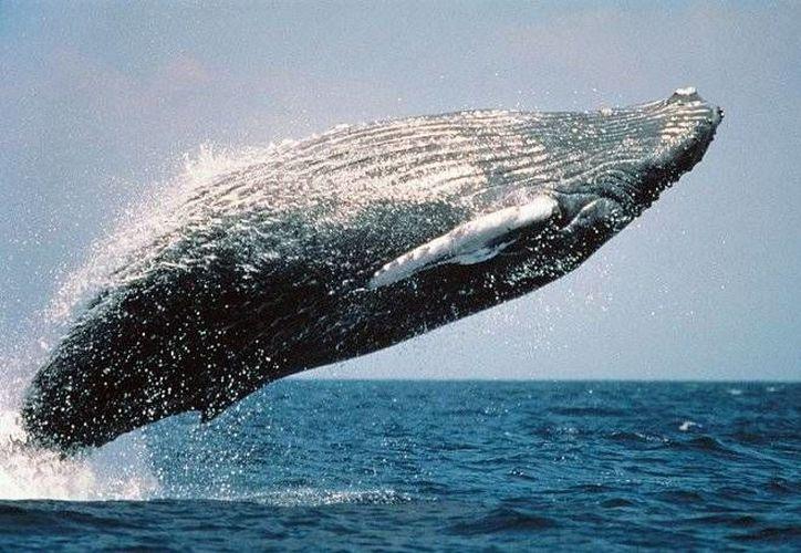 Se calcula que la población de ballenas azules es de apenas 2 mil ejemplares. (Internet)