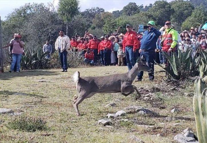 La liberación de los venados cola blanca fue en comunidades del municipio de Actopan. (excelsior.com)