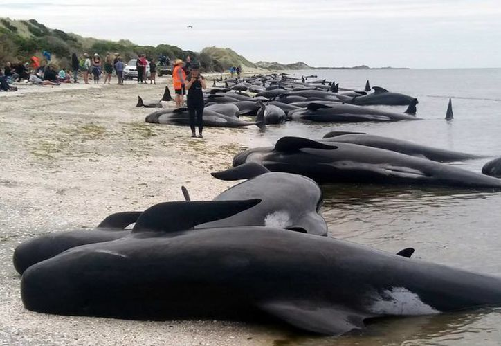 Unas 300 ballenas piloto murieron tras encallar en una remota playa neozelandesa. (AP/Tim Cuff)