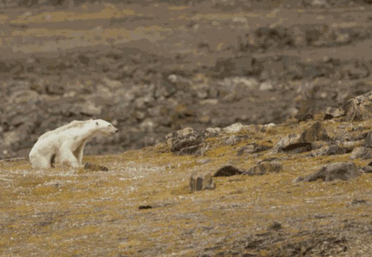 En las imágenes se ve como el oso se levanta lentamente y se acerca a unos botes de basura. (Fotógrafo: Paul Nicklen)