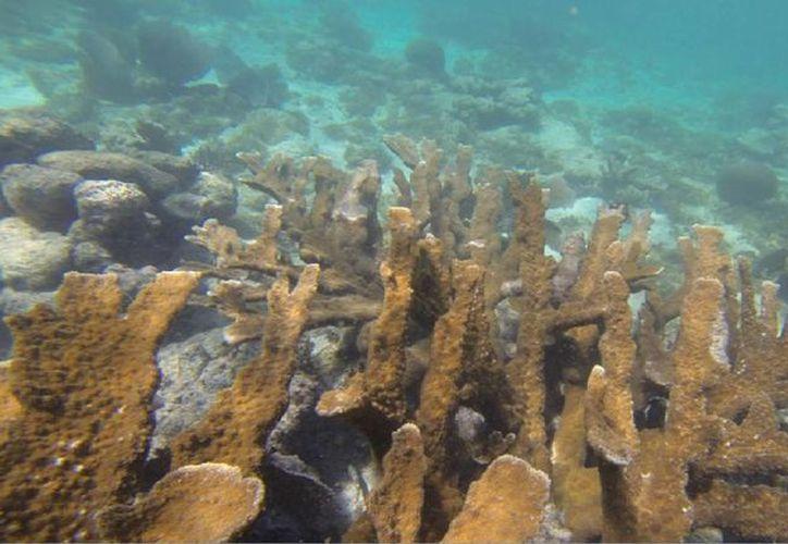 La cobertura de algas podría tratarse de un proceso natural del arrecife. (Harold Alcocer/SIPSE)