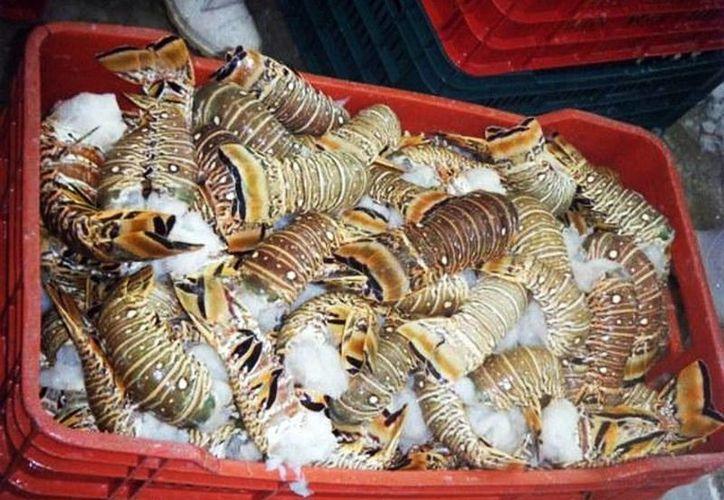 Los hombres de mar afirman que la depredación del crustáceo reduce los niveles de captura. (Milenio Novedades)