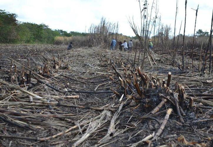 Actualmente en Quintana Roo se cultivan 31 mil hectáreas de caña. (Edgardo Rodríguez/SIPSE)