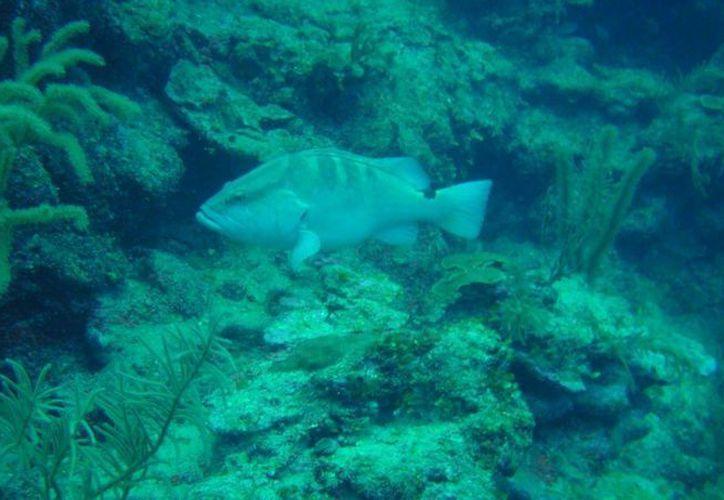 Se cree que la abundancia de este pez es la más importante de la zona sur del estado de Quintana Roo. (Ángel Castilla/SIPSE)