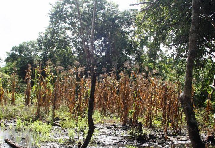 Más de mil 500 campesinos perdieron sus cultivos a causa de las inclemencias del tiempo.  (Rossy López/SIPSE)