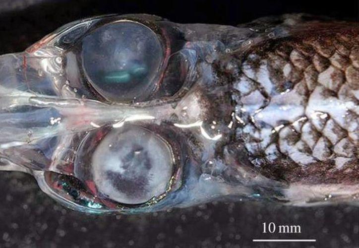 Rhynchohyalus natalensis tiene una visión de 360 grados, es decir, que prácticamente puede ver hacia todos lados. (medioambiente.org)