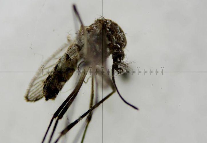 Fotografía a través de un microscopio de un mosquito Aedes aegypti, transmisor del virus del Zika. (EFE/Archivo)