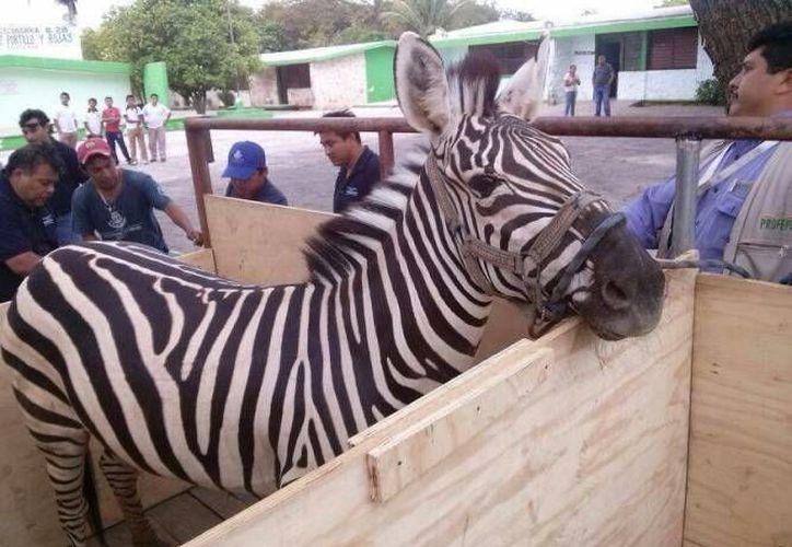 Animales de circo decomisados permanecen bajo resguardo en los zoológicos del Centenario y Animaya, en Mérida. (SIPSE/Archivo)