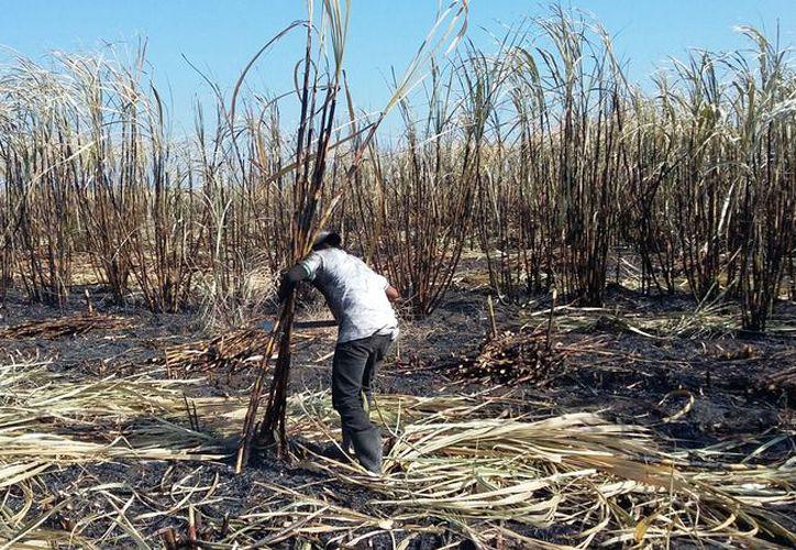 Para prepara la siembra, asegurar y vigilar el desarrollo de los cultivos, y levantar la cosecha, es necesario el esfuerzo cotidiano de la gente del campo. (Javier Ortiz/SIPSE)