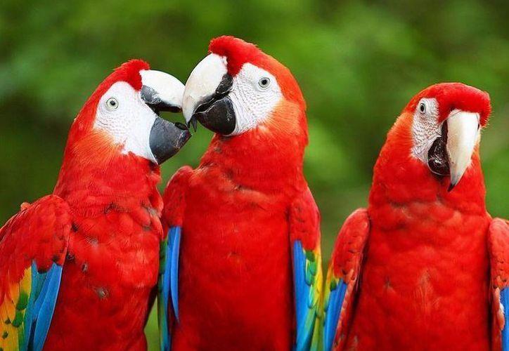 Las guacamayas rojas, eran aves que se encontraban prácticamente extintas por el tráfico ilícito  y la pérdida de su hábitat. (Archivo/SIPSE)