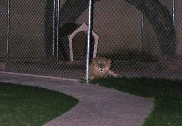 Vecinos de la colonia San Jerónimo reportaron a las autoridades la presencia del león, que parecía desesperado por el hambre. (MILENIO)