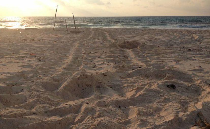 El primer nido de la tortuga marina se registró en la Playa San Martín. (Cortesía/SIPSE)