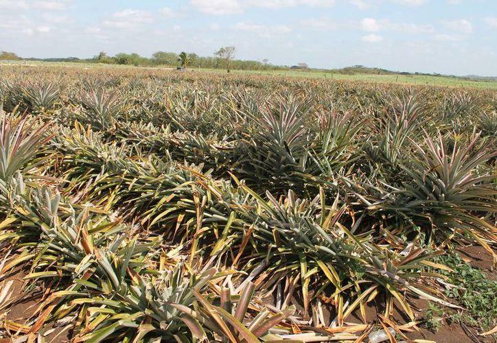 Este pago asegurará el cultivo de 76 mil hectáreas de maíz. El seguro cubre los daños  en caso de contingencia por lluvia o sequía. (Harold Alcocer/SIPSE)