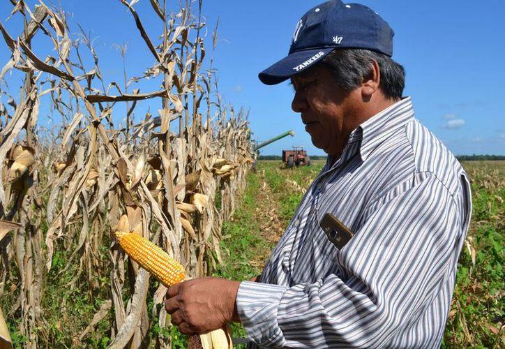 El rancho destaca por su basta producción en cultivo de  maíz, soya y potros. (Juan Rodríguez/SIPSE)