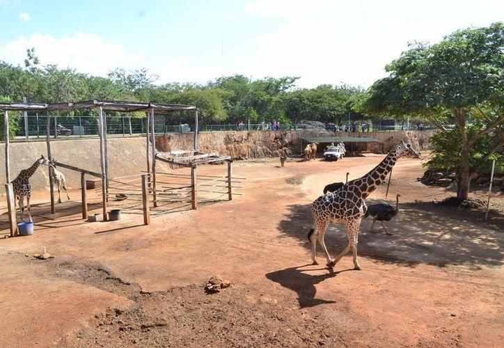 Murió este viernes 'La Mama', jirafa que era un animal muy apreciado en el Animaya, pues siempre fue dócil. (Fotos: Daniel Sandoval/SIPSE)