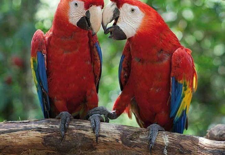 Prevén que existan más de 200 o 300 ejemplares en pareja, libres en las selvas del país, principalmente en Oaxaca. (Redacción/SIPSE)